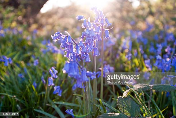 Bluebells glowing in setting sun light