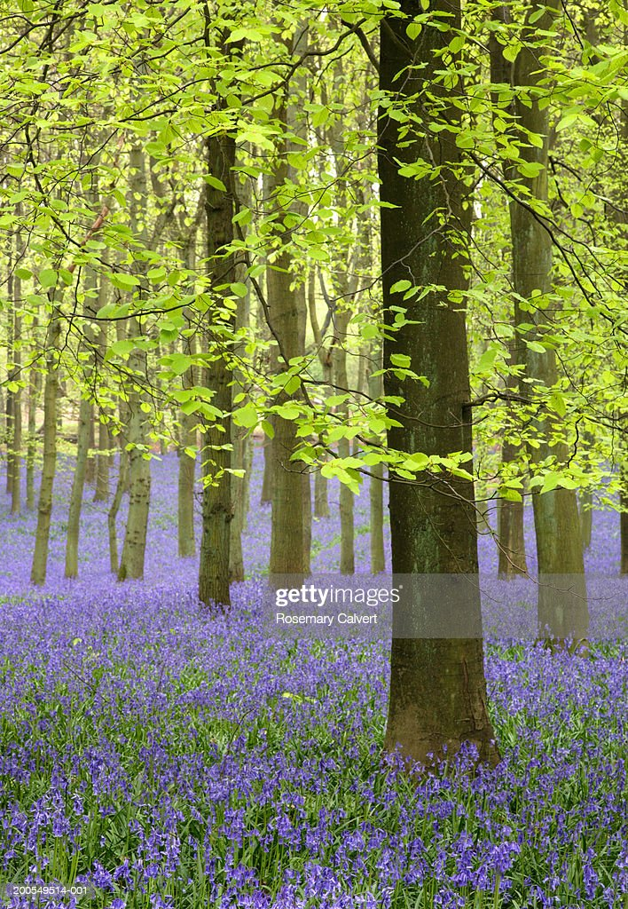 Bluebells (Hyacinthoides non-scripta) in beech forest, spring