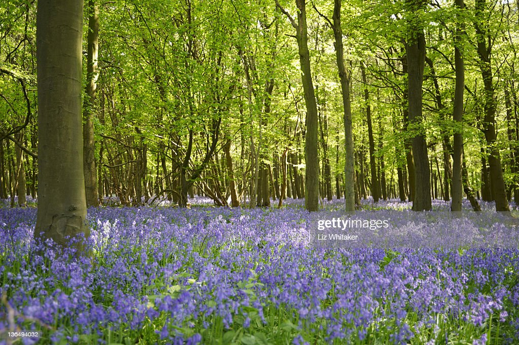 Bluebells in beech woodland in spring : Stock Photo