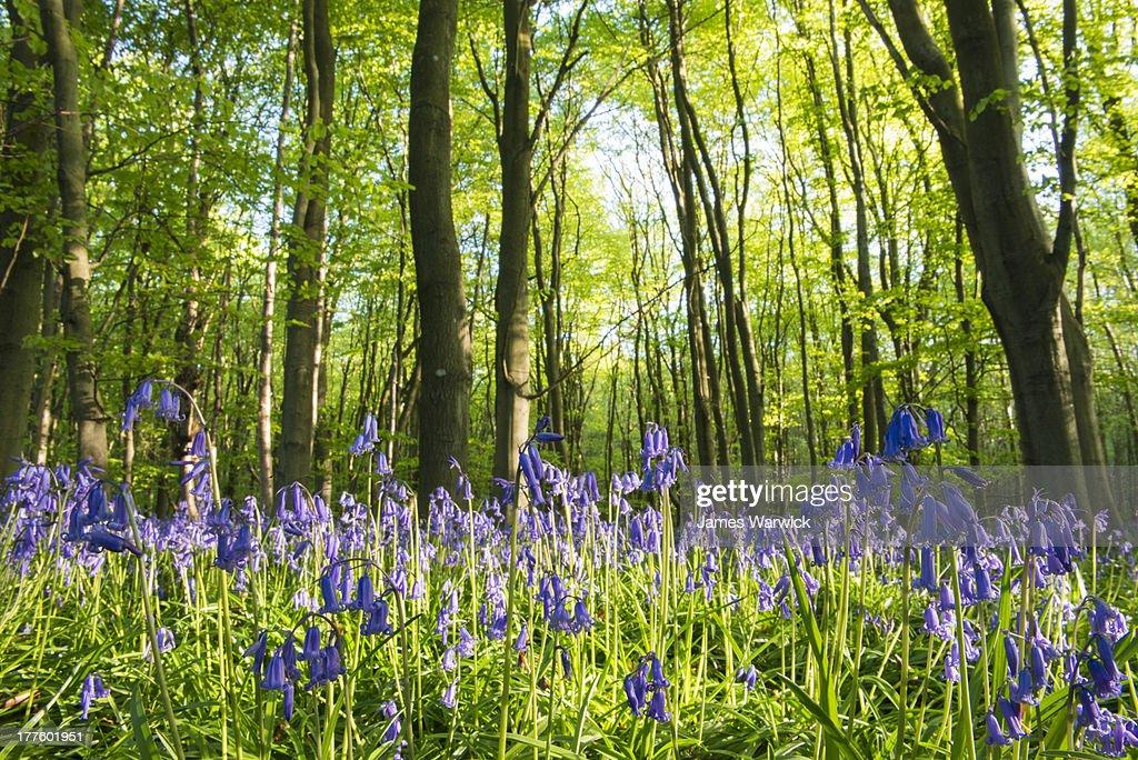Bluebells in beech woods : Stock Photo