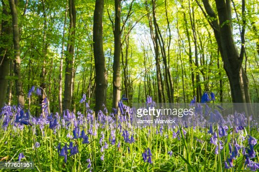Bluebells in beech woods