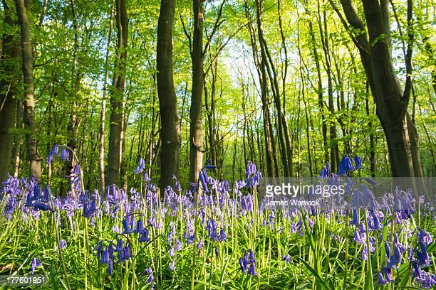 Bluebells in beech woods