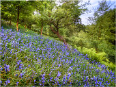 Bluebells in the Spring, up near the peak district of England.