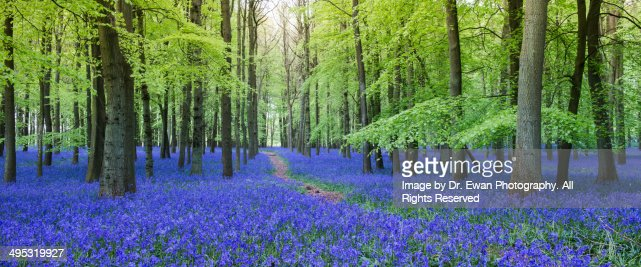Bluebells in The wood