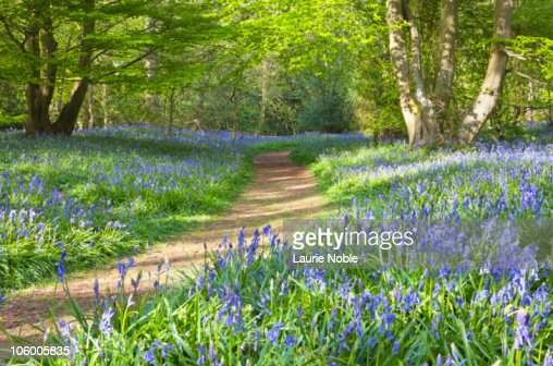 Bluebells in wood : Stock Photo
