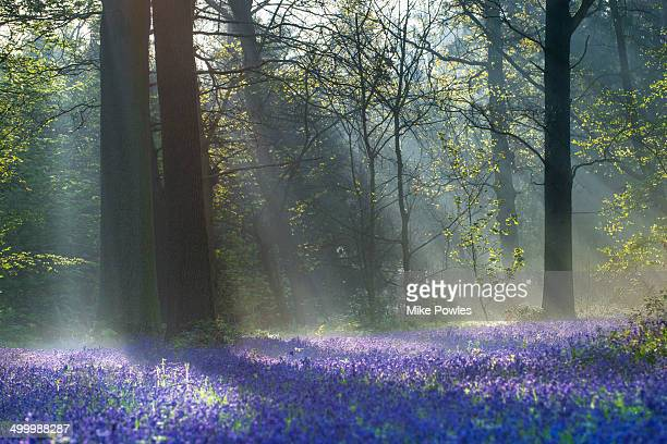 Bluebells in woodland with rays of sunshine