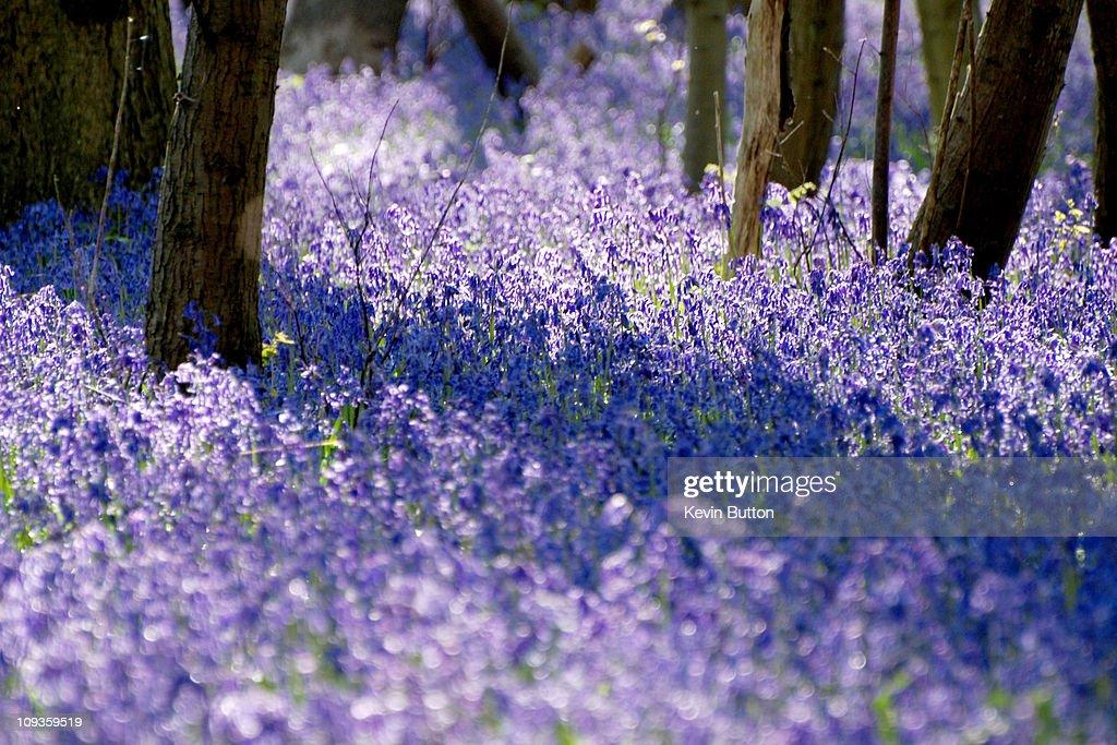 Bluebells - Kings Wood - Challock