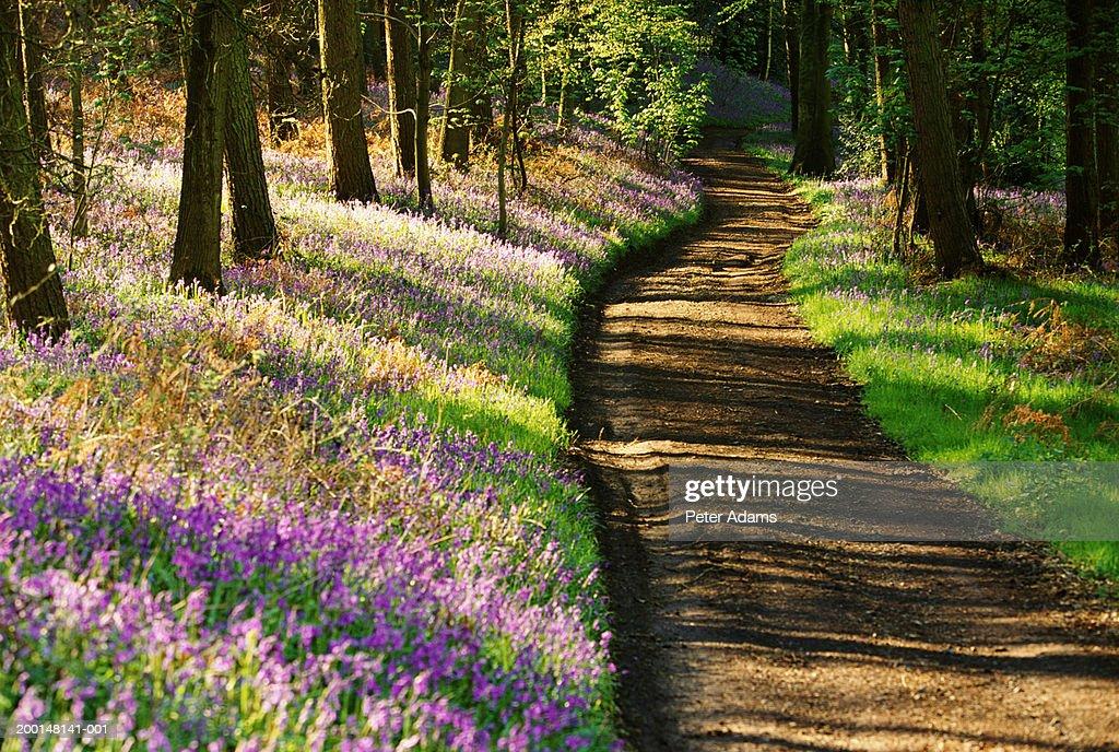 Bluebells lining woodland path : Stock Photo