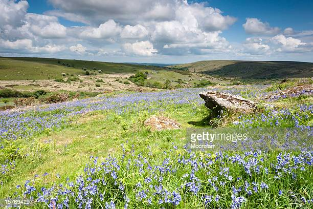 Bluebells on Dartmoor near Haytor