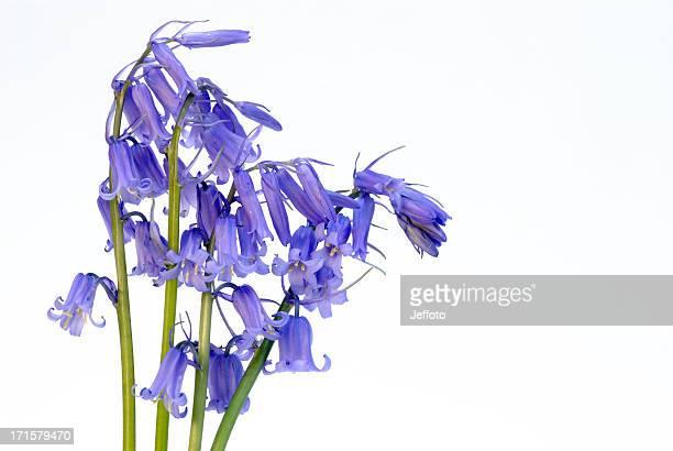 Bluebells on white