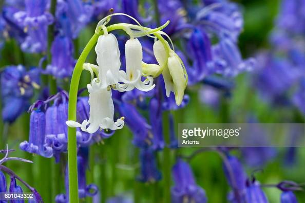 Bluebells white morph amongst blue flowers
