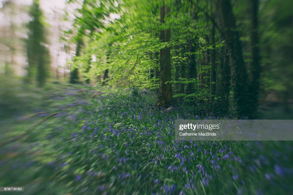 Bluebells with Blur : Stock Photo