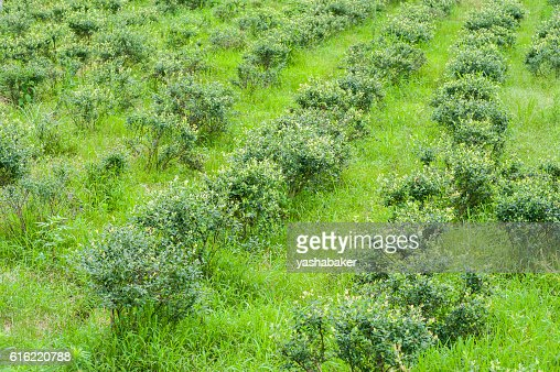 Blueberriy bushes on the farm in nature outdoors : Stockfoto