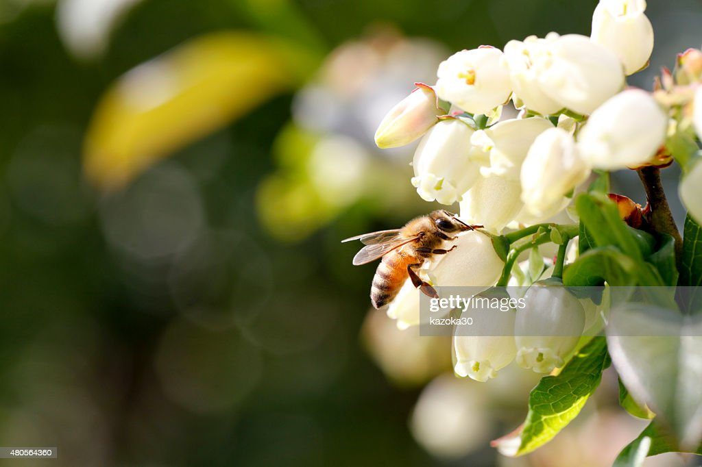 Blueberry and bees : Stock Photo