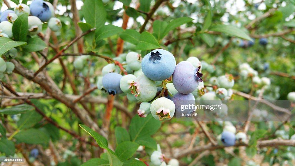 blueberry : Stock Photo