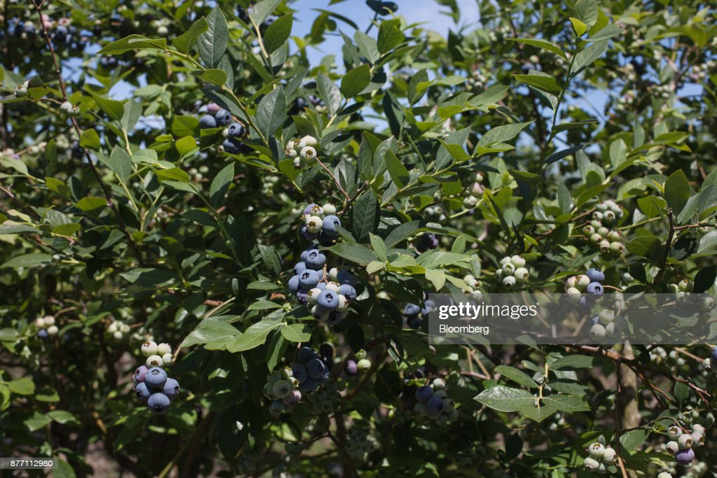 Operations At A Blueberry Harvest And Packing Facility Ahead Of Crop Report