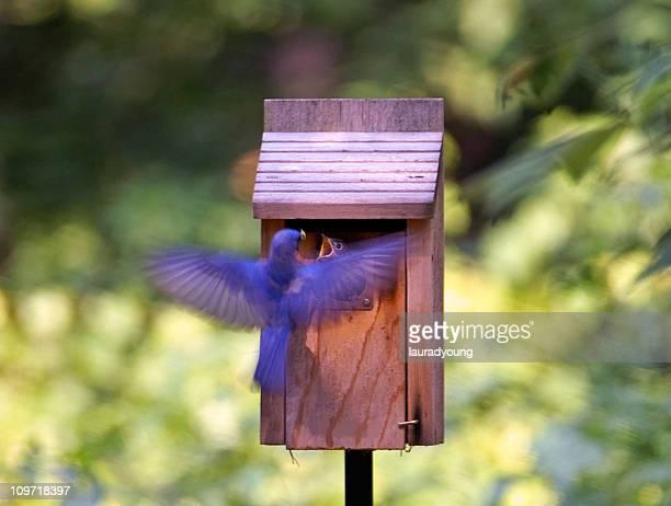 Bluebird Male Feeding Young