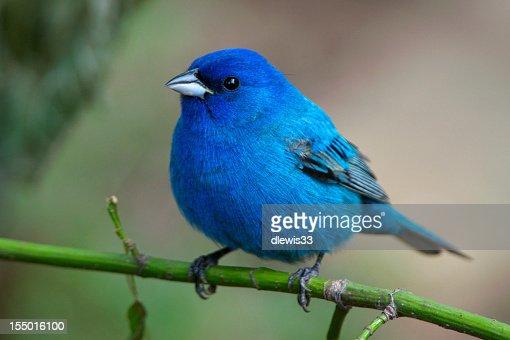 Bluebird auf grüne Stängel in der Arkansas wild
