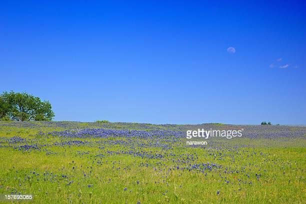 Bluebonnet field under moon