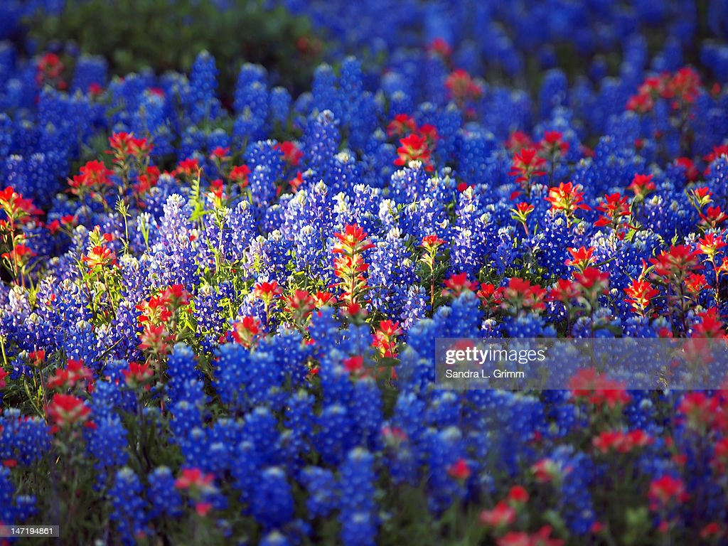 bluebonnets and indian paintbrush wild flowers stock photo getty