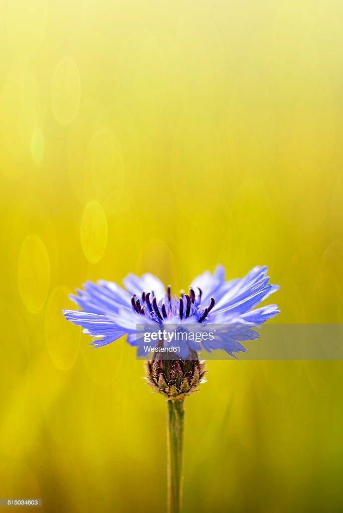 Bluebottle, Centaurea cyanus, in front of field