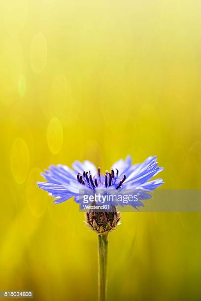 Bluebottle, Centaurea cyanus, in front of field
