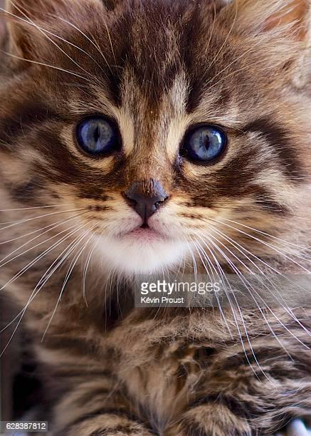 Blue-eyed kitten looking at camera