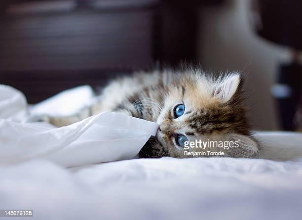 Blue-eyed kitten on white sheets