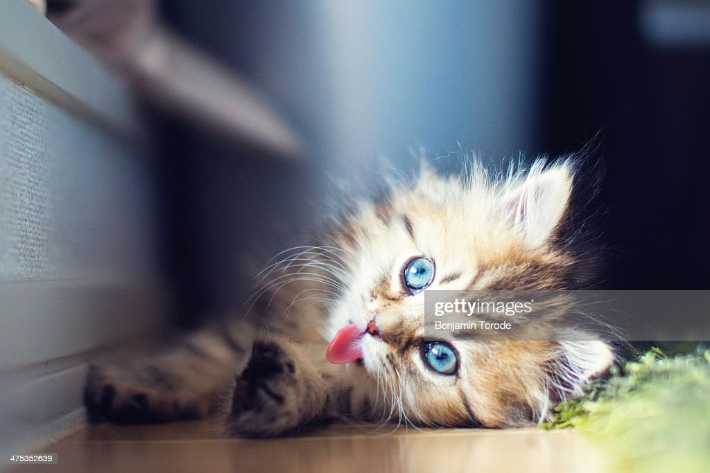 Blue-eyed persian kitten poking tongue out
