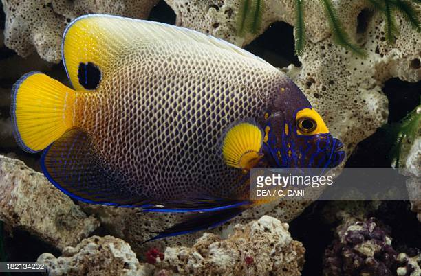 Blueface angelfish or Yellowface angelfish Chaetodontidae in aquarium