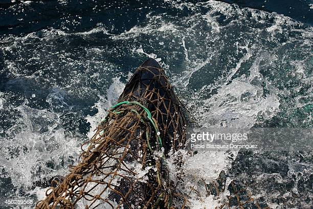 A bluefin tuna gets trapped on a fishers' net during the end of the Almadraba tuna fishing season on June 3 2014 near the Barbate coast in Cadiz...