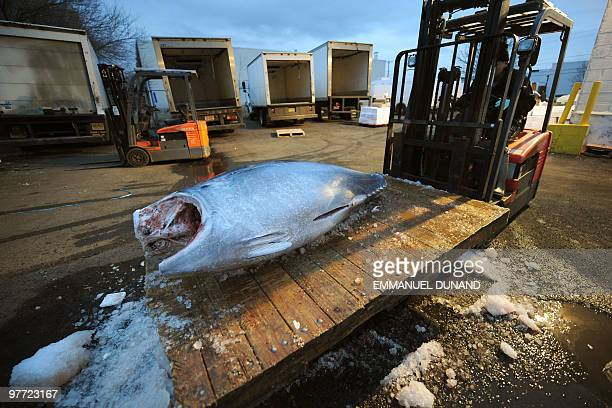 A bluefin tuna is unloaded on its way to be cut and distributed to New York's top sushi restaurant at a fish market in Jersey City New Jersey March...