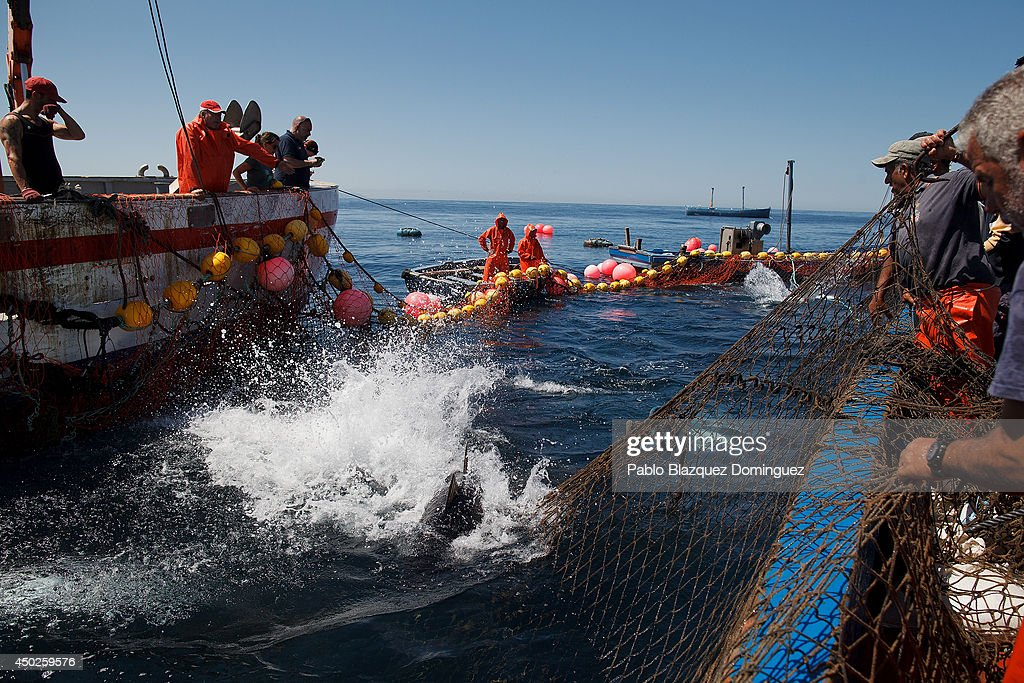 A bluefin tuna tries to escape from fishers' nets during the end of the Almadraba tuna fishing season on June 3, 2014 near the Barbate coast, in Cadiz province, Spain. Almadraba is a traditional bluefin tuna fishing method in Southern Spain already used during Phoenician and Romans times. Fishers place mazes of nets to catch tuna migrating from the Atlantic Ocean to the Mediterranean Sea and select those that have the best size. Almadraba tuna is well demanded by Japanese for its quality. Today fishers use a different technique to control the catch amount by releasing many of the bluefin tunas before hauling the nets to avoid exceeding their limited quota fixed by International Commission for the Conservation of Atlantic Tunas 'ICCACT'. Almadraba fishers association claim the fishing quota could now be increased as fishers are struggling and the tuna population has recovered quite well.