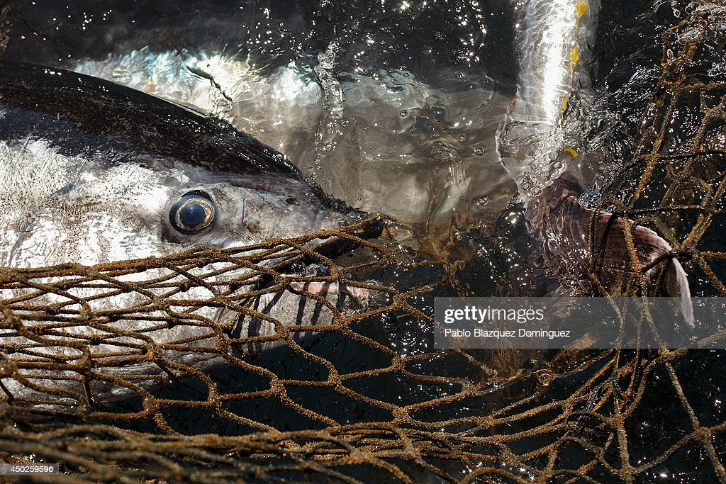 Bluefin tunas get trapped on fishers' nets during the end of the Almadraba tuna fishing season on June 3, 2014 near the Barbate coast, in Cadiz province, Spain. Almadraba is a traditional bluefin tuna fishing method in Southern Spain already used during Phoenician and Romans times. Fishers place mazes of nets to catch tuna migrating from the Atlantic Ocean to the Mediterranean Sea and select those that have the best size. Almadraba tuna is well demanded by Japanese for its quality. Today fishers use a different technique to control the catch amount by releasing many of the bluefin tunas before hauling the nets to avoid exceeding their limited quota fixed by International Commission for the Conservation of Atlantic Tunas 'ICCACT'. Almadraba fishers association claim the fishing quota could now be increased as fishers are struggling and the tuna population has recovered quite well.
