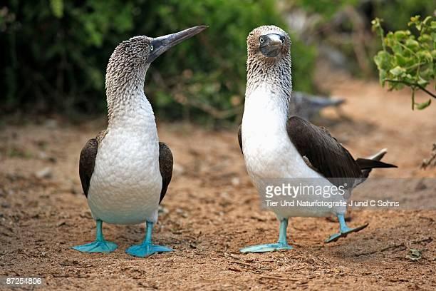 Blue-Footed Boobies, Galapagos, Ecuador