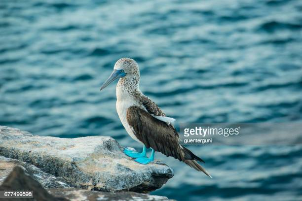 Blue-footed booby (Sula nebouxii) at Galapagos islands, xxl-image