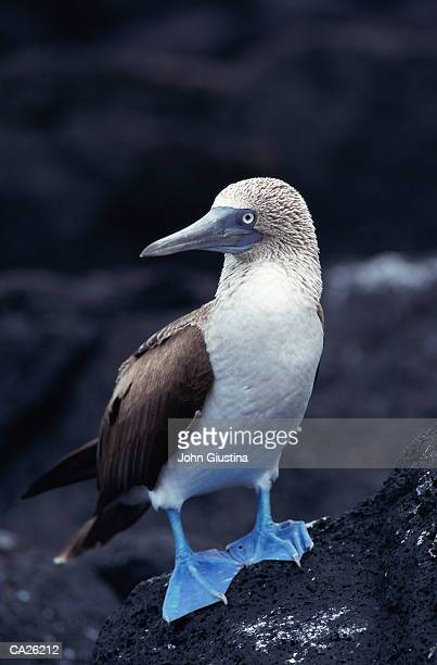 Blue-footed Booby (Sula nebouxi), close-up