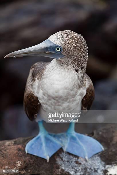 Blue-footed Booby, Galapagos, Ecuador.