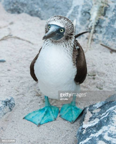 Blue-footed Booby standing on sand on Espanola the Galapagos