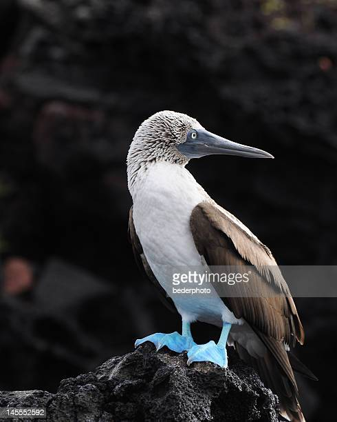 Blue-footed galapagos boobie