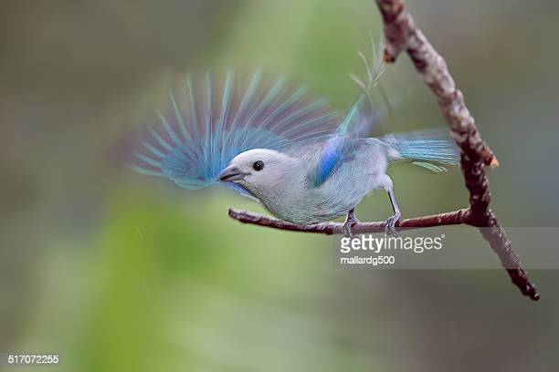 A Blue-gray tanager on a perch.