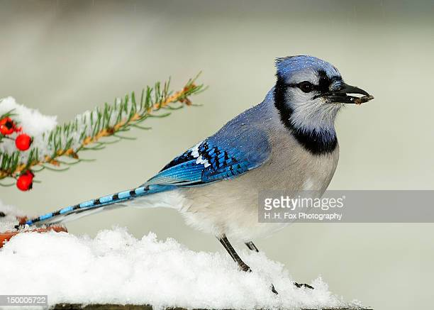 Bluejay in winters snow