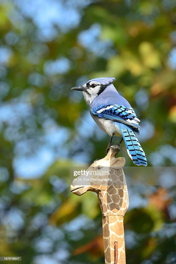 Bluejay perched on Walking Stick : Stock Photo