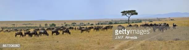 Blues wildebeests (Connochaetes taurinus)