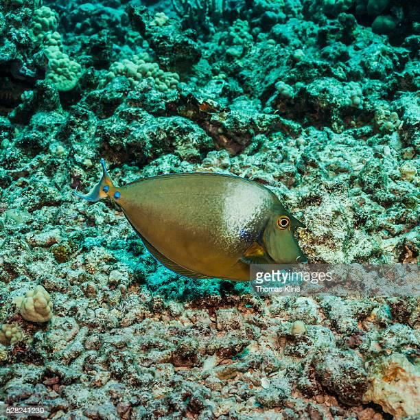 Bluespine Unicornfish (Naso unicornis) over coral rubble; Kona, Island of Hawaii, Hawaii, United States of America