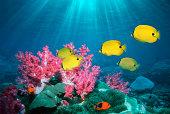 Bluespot butterflyfish (Chaetodon plebeius) (digital composite)