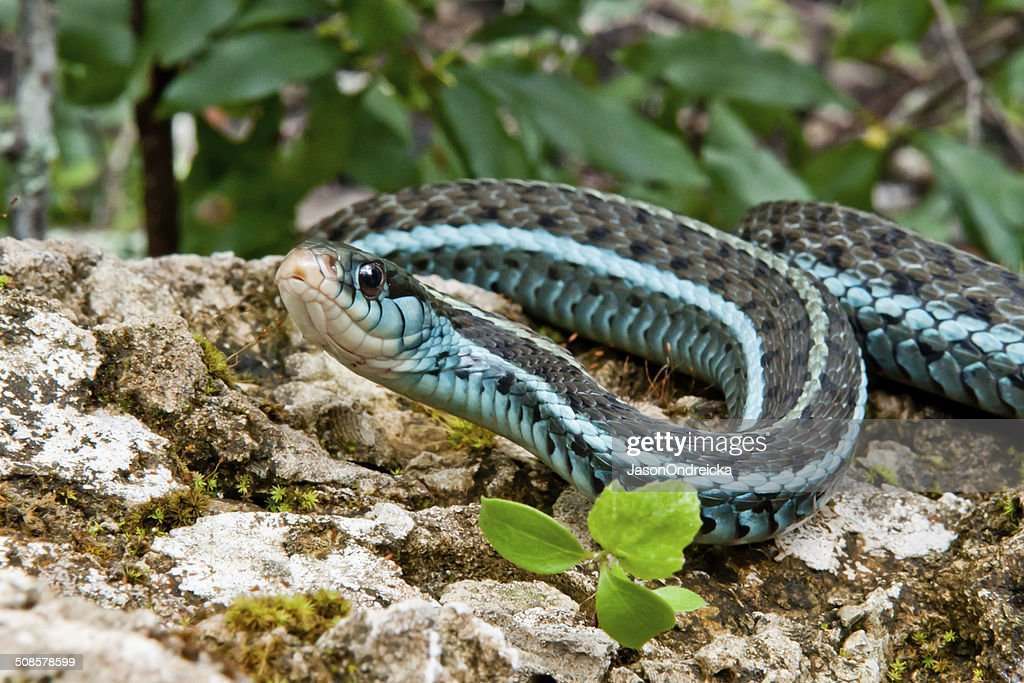 Bluestripe Garter Snake : Stock Photo