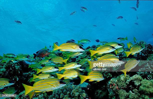 Bluestripe snapper Lutjanus kasmira Sudan Africa Red Sea
