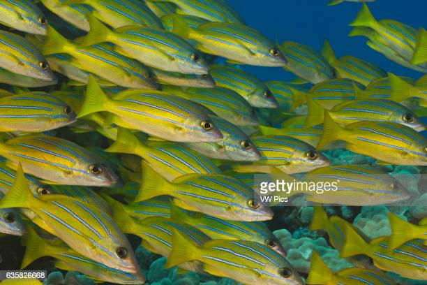Bluestripe snapper Lutjanus kasmira were introduced to Hawaii in 1958 with the thought that they may become a food source Hawaii