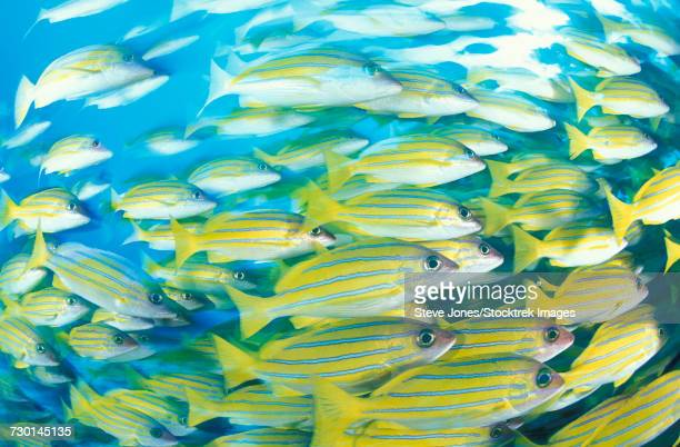 Blue-striped snapper (Lutjanus kasmira) schooling, South Ari Atoll, Maldives.